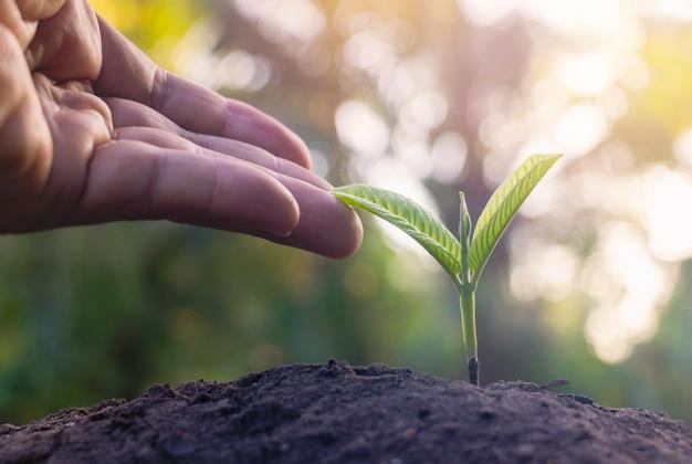Handberührung ist wachsende pflanze, junge pflanze im morgenlicht auf bodenhintergrund. kleine pflanzen auf dem boden im frühjahr.