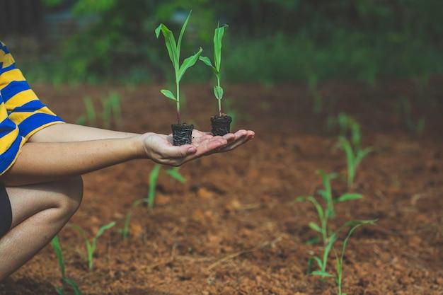 Handfrauen grüne sprossenmaispflanze, die im morgenlicht in der natur wächst