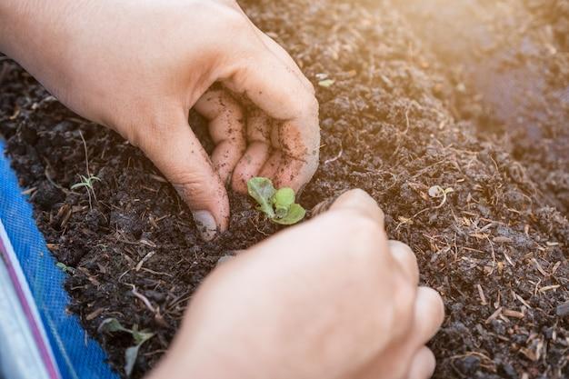 Handgärtner, der die sämlinge des kopfsalates auf boden pflanzt