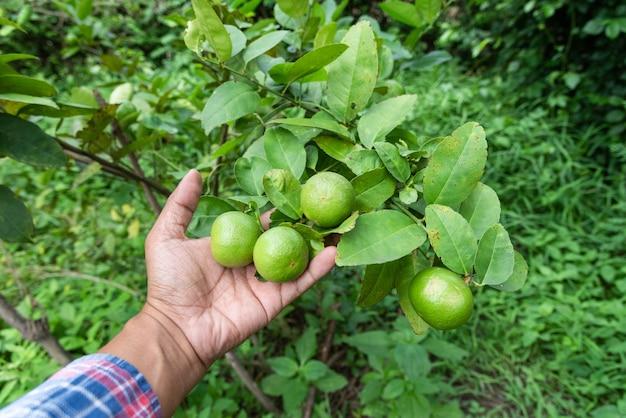 Handgärtner fangen limonengrün auf einem baum