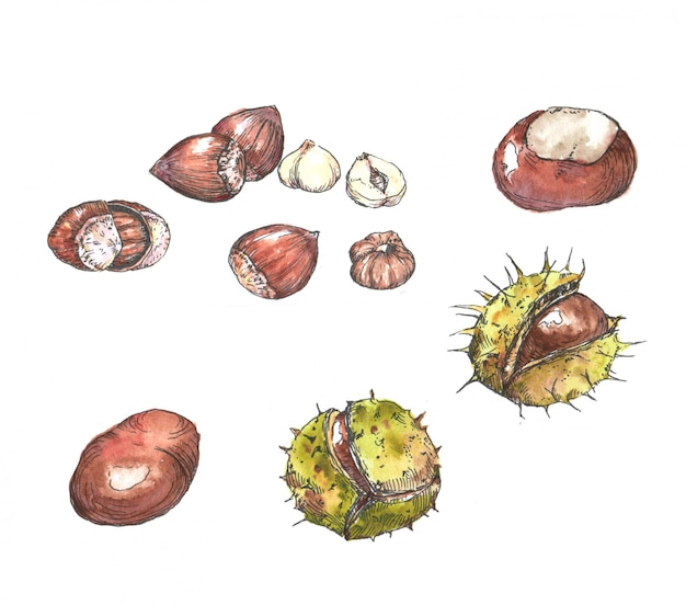 Handgezeichnete aquarell- und tintenherbstillustration. zeichnung von isolierten kastanien und haselnüssen