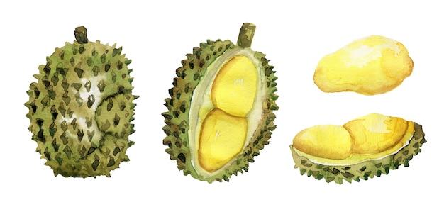 Handgezeichnete reife durian-sammlung des aquarells lokalisiert auf weiß