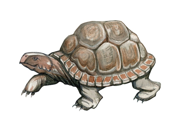 Handgezeichnete schildkröte in aquarell auf weißem hintergrund