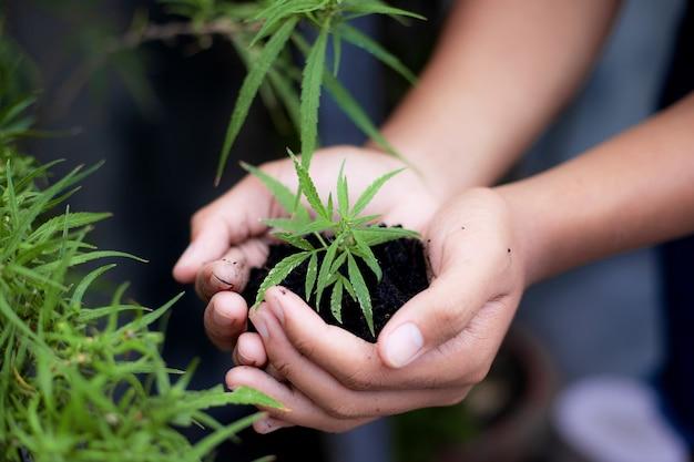 Hands pflanzt einen cannabis-sämling auf dem grundstück.