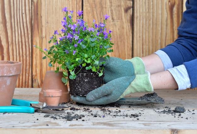 Handschuhhände einer frau, die eine pflanze mit ihrem klumpen zum umtopfen hält
