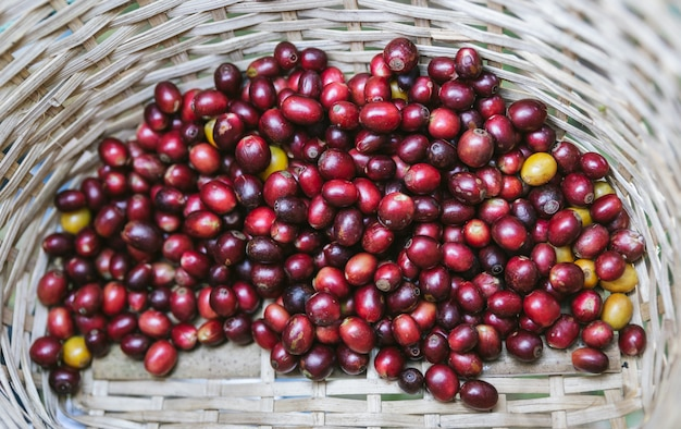 Handverlesene reife rote arabica-kaffeekirschen im korb am akha-dorf