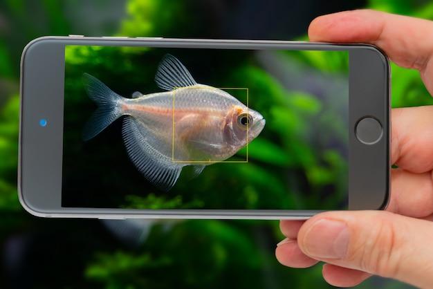 Handy, der foto von kleinen aquariumfischen im aquarium macht