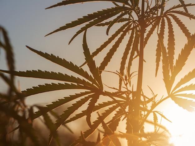 Hanfbusch in der sonne. schattenbild des busches mit marihuana gegen den himmel bei sonnenuntergang.