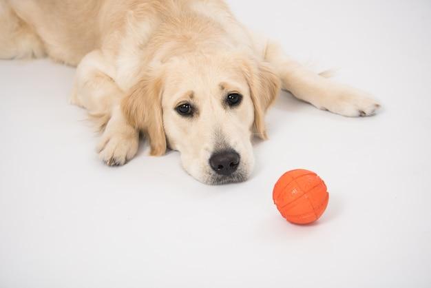 Happy golden retriever reinrassiger hund, der auf hundebett mit ballspielzeug legt