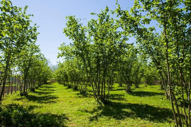 Haselnussbäume plantagenlandschaft und aussicht, große baumgruppe