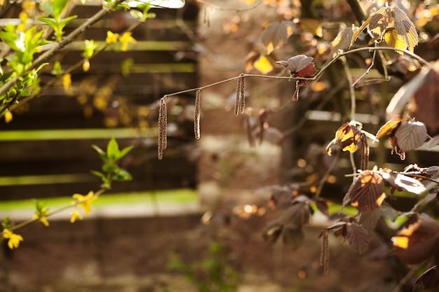 Haselnusszweige mit blättern und kätzchen im frühjahr im garten.