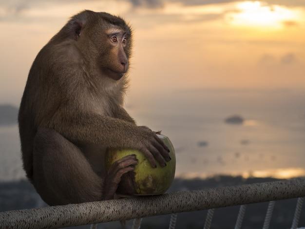 Haubenmakaken, der auf einem geländer sitzt und eine grüne kokosnuss hält