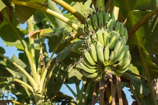 Haufen grüne bananen an der pflanze