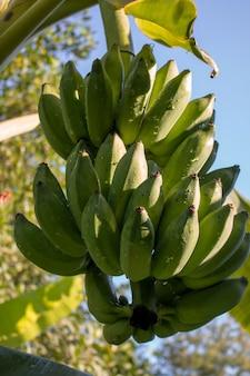 Haufen grüne bananen auf pflanze