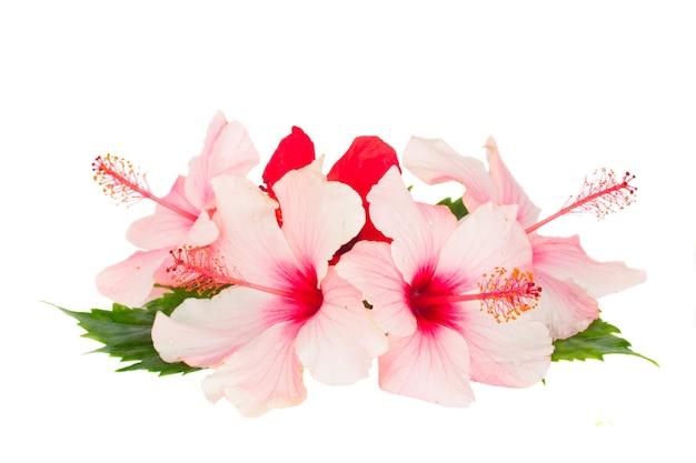 Haufen hibiskusfluss isoliert
