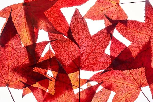 Haufen roter herbstliquidambarblätter, ahornlaub