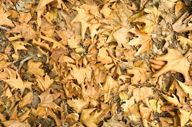 Haufen trocken verwelkter gefallener herbstahornblätter von bäumen