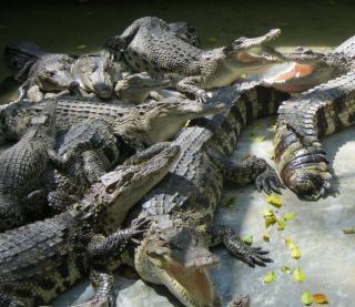 Haufen von krokodilen