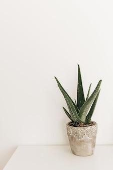Hauptpflanze aloe vera auf weißem tisch. minimales innendesign-konzept.