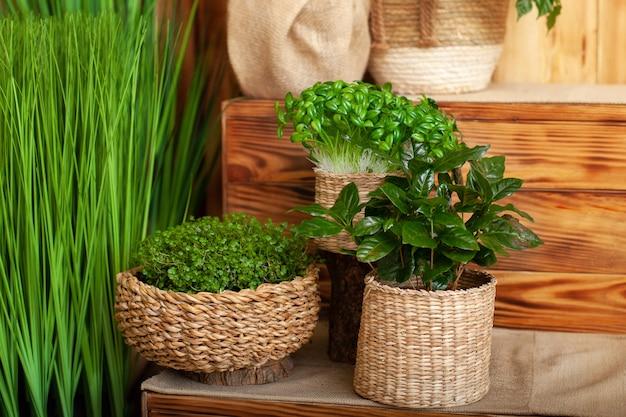 Hauptpflanzen im strohtopf auf der fensterbank des hauses. konzept der hausgartenarbeit. sammlung verschiedener heimischer pflanzen in verschiedenen töpfen. anordnung von weidenblumentöpfen mit grünen zimmerpflanzen. kaffeebaum