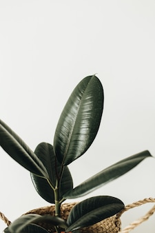 Hauptpflanzenficus im strohkorb-blumentopf auf weißer oberfläche.