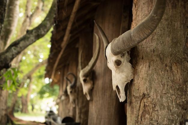 Hauptschädel des büffels