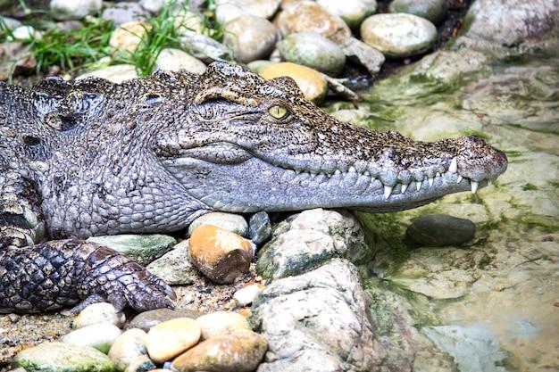 Hauptschuß des siamesischen krokodils