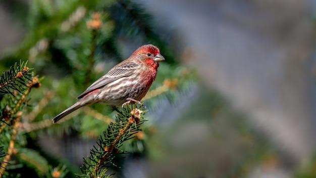 Hausfinkenvogel