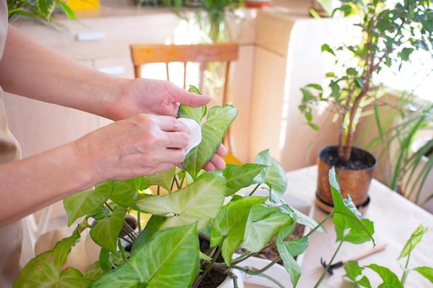 Hausgartenarbeit frau wischt ein grünes blatt ab, pflegt eine pflanze in einem topf ältere frau, die pflanzen pflegt