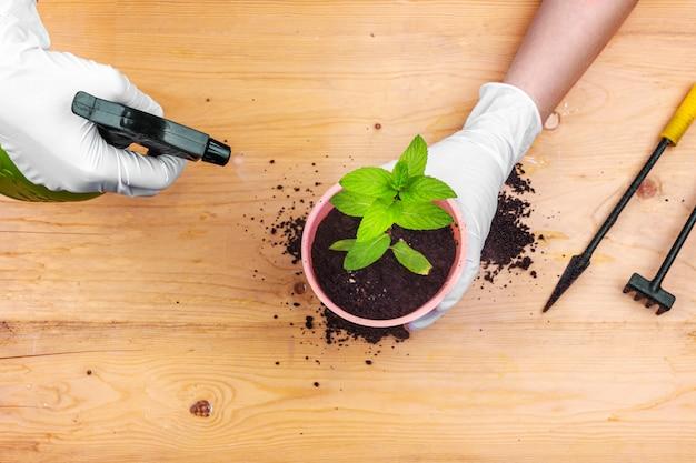 Hausgartenarbeit. hände mit handschuhen, die einen minzbusch in einen topf pflanzen