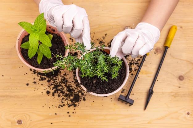 Hausgartenarbeit. hände mit handschuhen pflanzten kräuter in töpfe