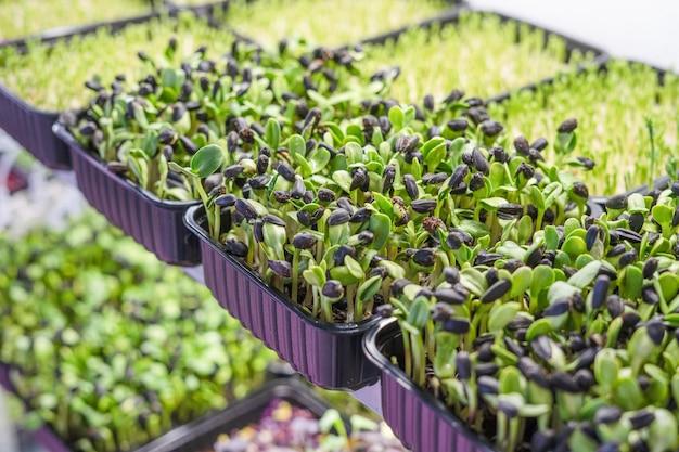 Hausgartenarbeit von frischen jungen keimlingen von sonnenblumen-mikrogrüns in plastikbehältern auf regal