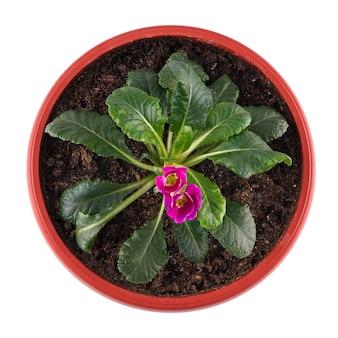 Hausgemachte topfpflanze, primelblume isoliert auf weißer oberfläche