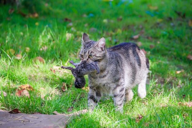 Hauskatze auf einem spaziergang im hof. ein haustier. katze. katze auf einem spaziergang. säugetier. tierhaar.