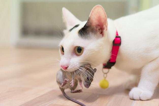 Hauskatze, die kleine nagetierratte im haus, weiße katze abschließend eine maus trägt.