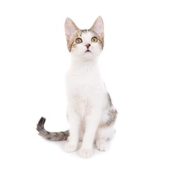Hauskatze, kätzchen isoliert auf weißem hintergrund