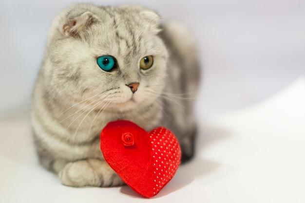 Hauskatze mit einem roten herz valentine posiert. eine seltene schottische falte mit bunten augen.