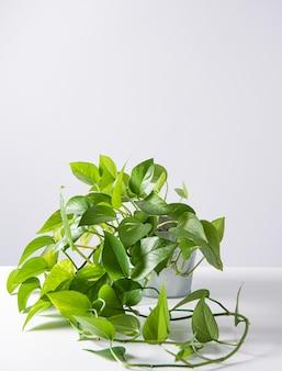 Hauspflanze scindapsus in einem topf auf weißem hintergrund