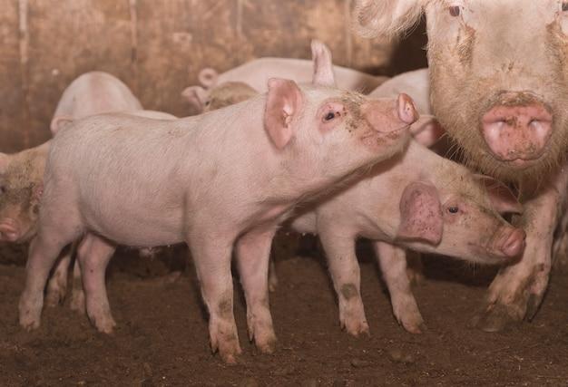 Hausschweine in einem block