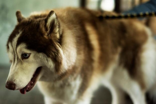 Haustier des sibirischen schlittenhundsäugetieres