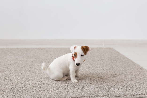 Haustiere, tiere und häusliches konzept - kleiner russell welpe, der auf einem teppich im wohnzimmer sitzt.