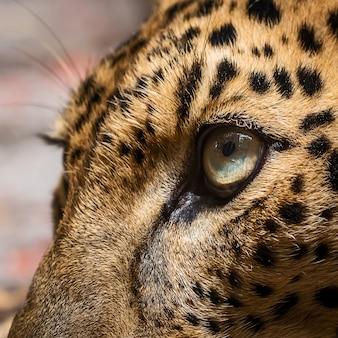 Hautnah leopardenauge