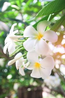 Hawaii plumeria blatt blüte mit blumen