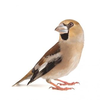 Hawfinch, coccothraustes coccothraustes, lokalisiert auf weißem hintergrund. weiblich Premium Fotos