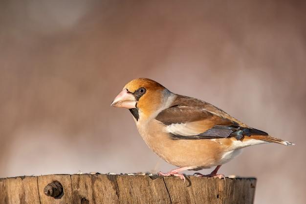 Hawfinch (coccothraustes coccothraustes) sitzt auf einem baumstumpf