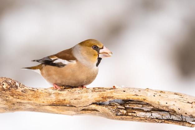 Hawfinch coccothraustes coccothraustes sitzt im winter hautnah auf einem stock.