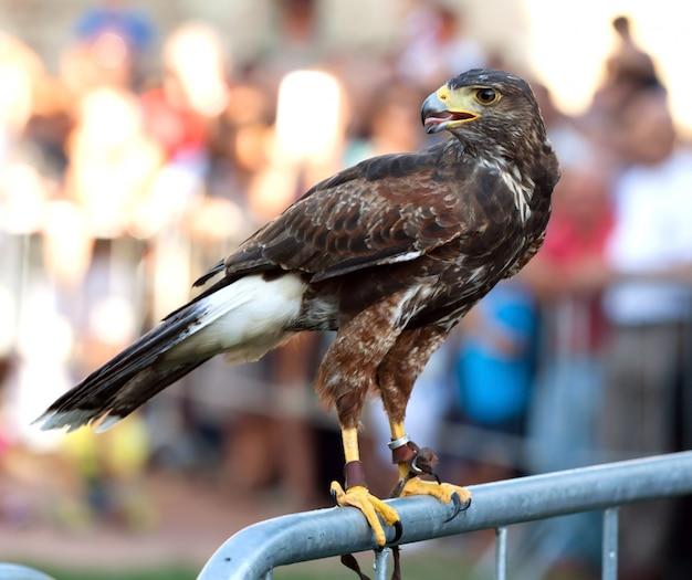 Hawk auf einer barriere