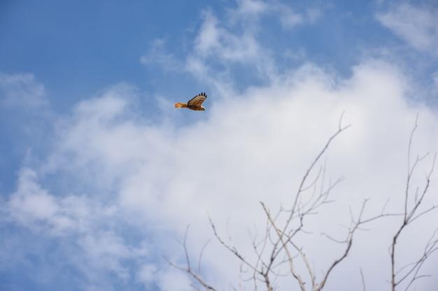 Hawk fliegt hoch in den blauen himmel
