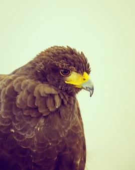 Hawk nahaufnahme