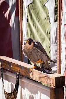 Hawk posiert ruhig in einer ausstellung